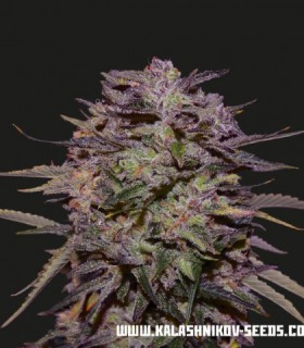 Purple Russian Express by Kalashnikov Seeds