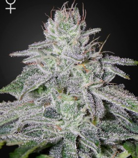 Francos Lemon Cheese by Greenhouse Seeds