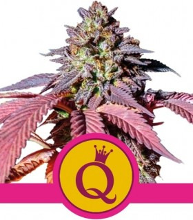 Purple Queen by Royal Queen Seeds
