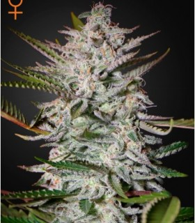 Sweet Valley Kush by Greenhouse Seeds