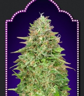 Critical Poison Fast Version by 00Seeds Bank