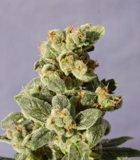 Gnomo Autofloreciente by Kannabia Seeds