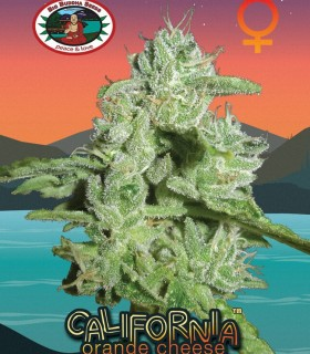 California Orange Cheese by Big Buddha Seeds