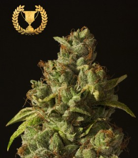 Rollex OG Kush by Devil's Harvest