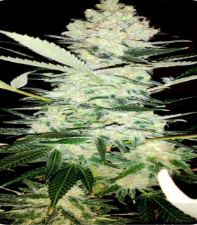 Clinical by Dispensario Seeds