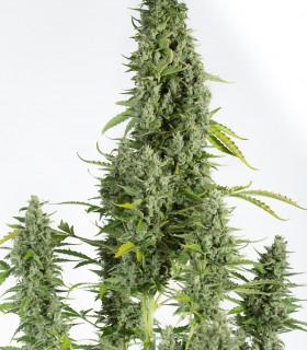 Cheese Autoflowering