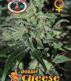 Double Cheese by Big Buddha Seeds