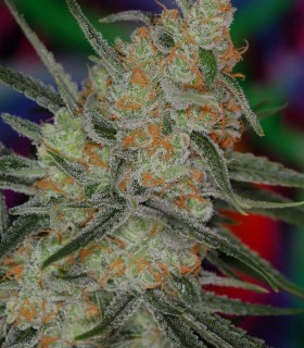 Space Bomb by TGA Subcool Seeds