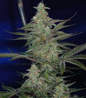 Third Dimension by TGA Subcool Seeds