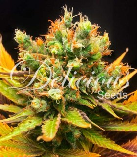 Honeybells by Delicious Seeds