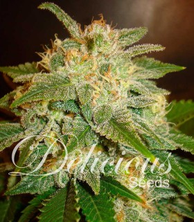 La Bella Afrodita by Delicious Seeds
