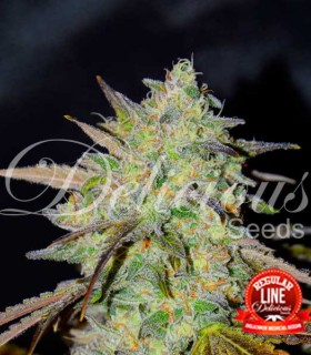 Marmalate Regular by Delicious Seeds