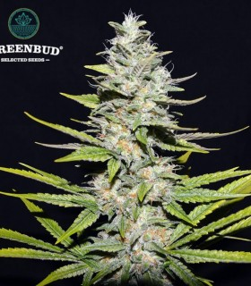 Loveless by Greenbud Seeds