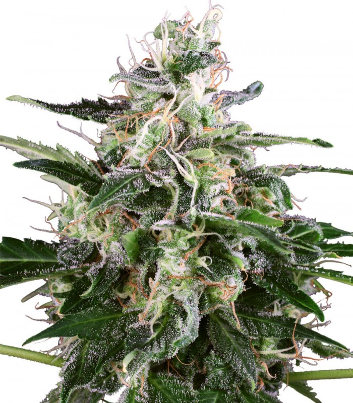 Buy White Label Seeds White Skunk Auto