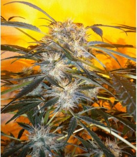 Nirvana Sky by Flash Seeds