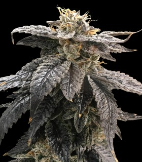 Star OX de Rare Dankness Seeds