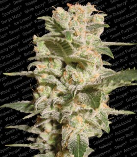 Belladonna by Paradise Seeds