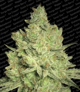 Jacky White by Paradise Seeds