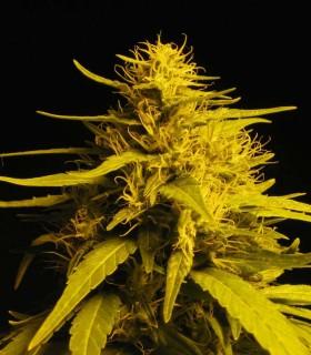 Haze 1 by Nirvana Seeds