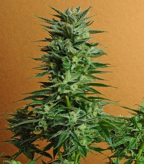 Snow White by Nirvana Seeds